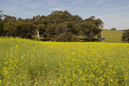 canola fields yor western australia
